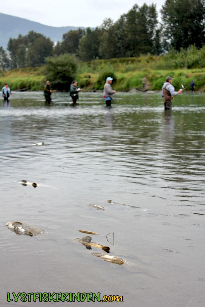 Mange lystfiskere og døde pukkellaks i Chilliwack/Vedder River