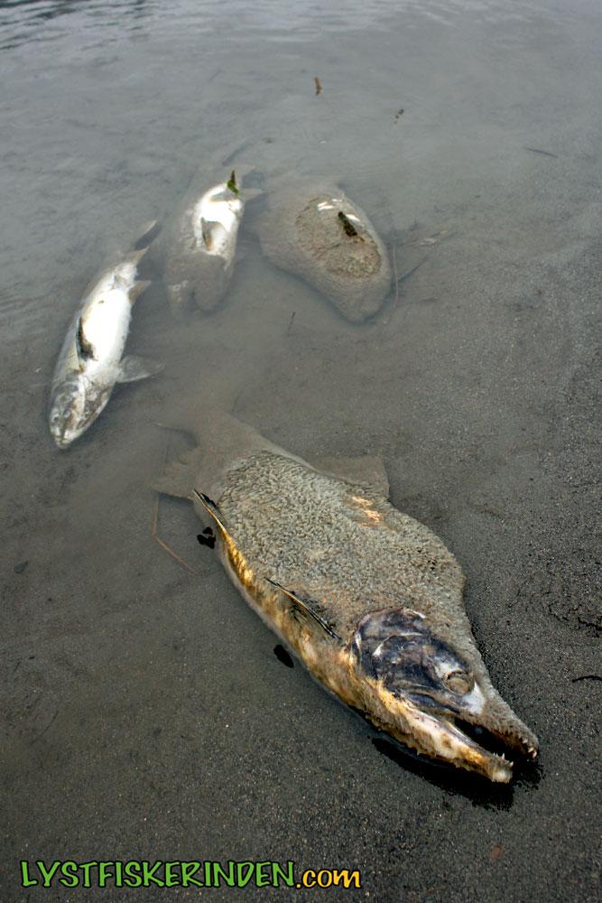 Døde pukkellaks i Chilliwack/Vedder River