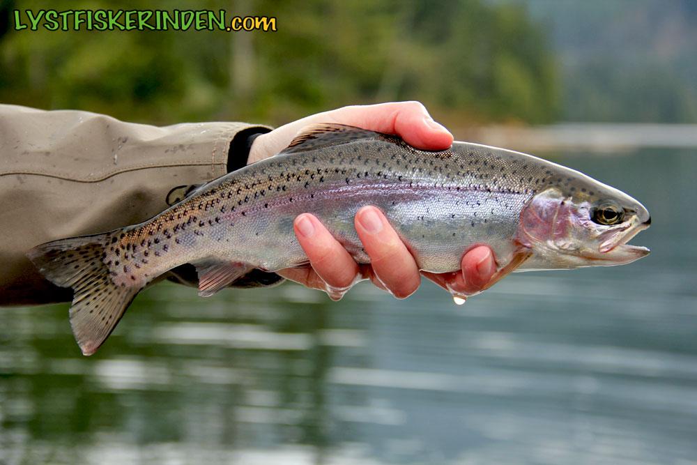 Regnbueørred fra Weaver Lake